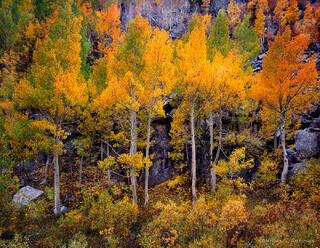 Fall Color Quaking Aspens