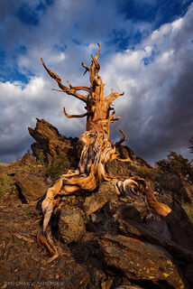 Towering ancient Bristlecone pine tree in the White Mountains, California.