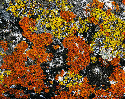 Slow growing and very old lichen has formed a permanent bond with this California granite in the Sierra Nevada Foothills near Yosemite.