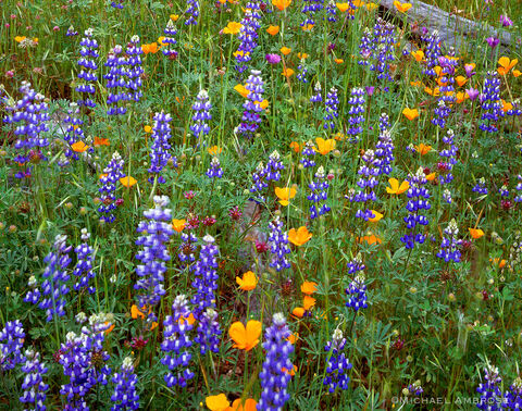 Lupin and other California wildflowers celebrate spring near Yosemite in the California foothills.
