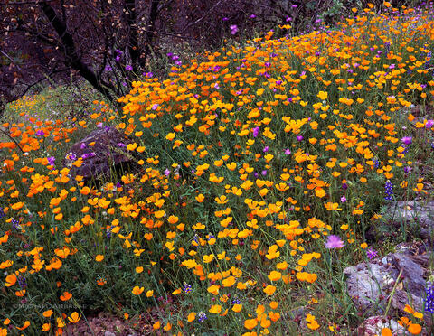 Poppies and Wildflowers rewarded my steep hike in the Merced River Canyon near Yosemite National Park, California.