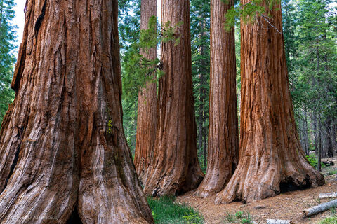 In Mariposa Grove of Sequoias, the Bachelor and three Graces are an easy walk on the Yosemite National Park Trail.