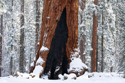 Snow on Mariposa Grove's Sequoia tree named the Grizzly Giant, in Yosemite National Park.