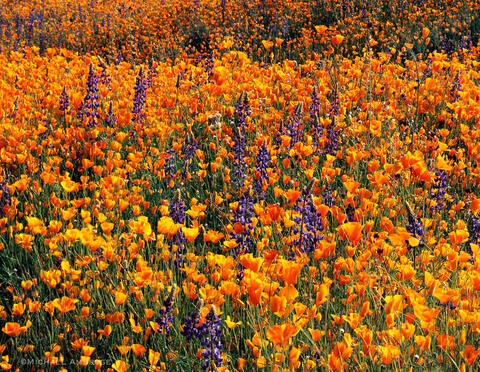 Golden poppies and purple lupine carpet the landscape in Three Rivers, California during Spring.