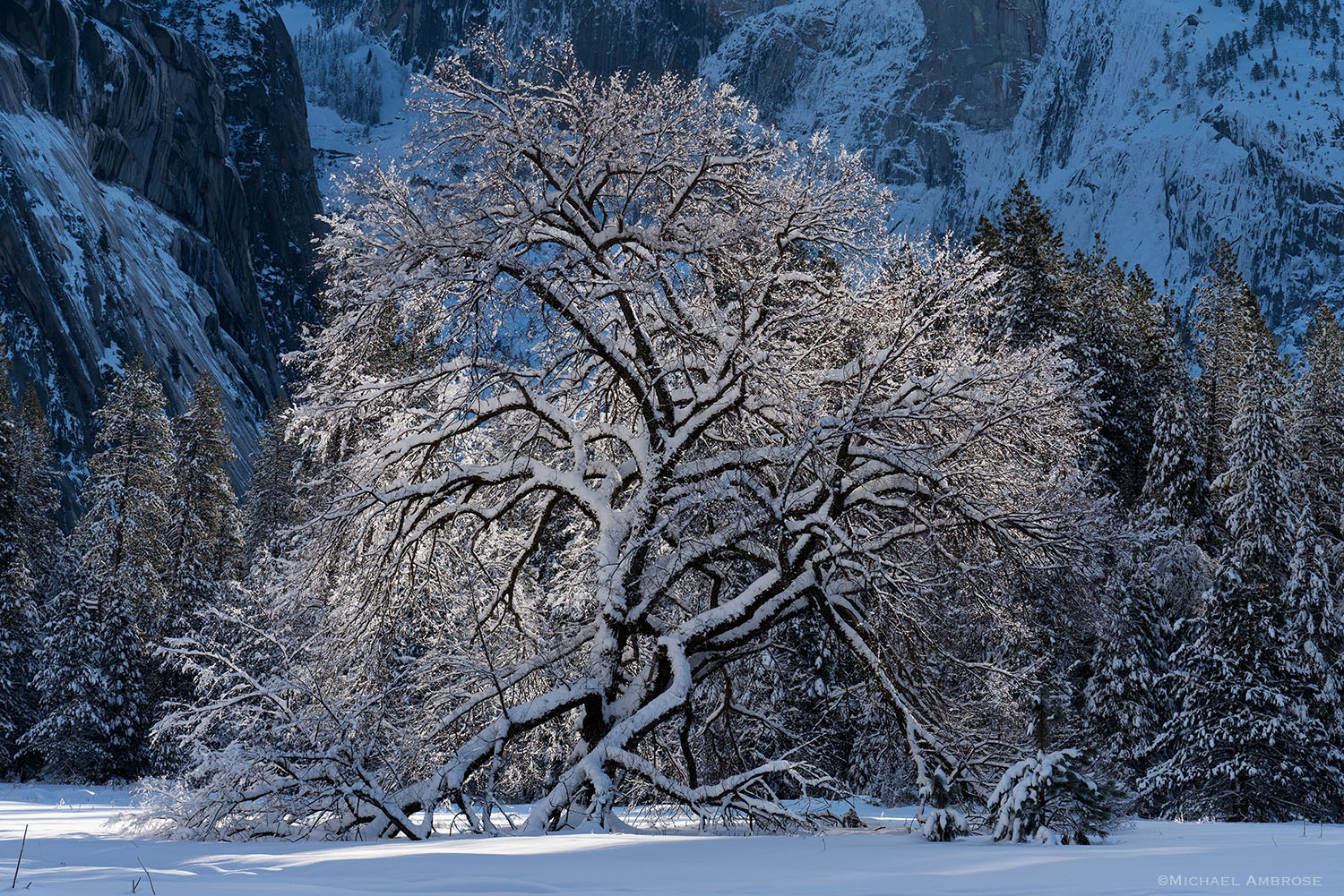 Winter's snow coast Yosemite Valley and the famous Elm tree also photographed by Ansel Adams.