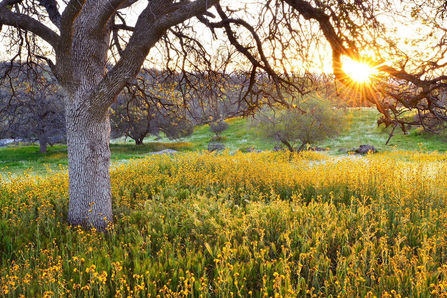A morning sunburst with an oak tree and golden flowers.