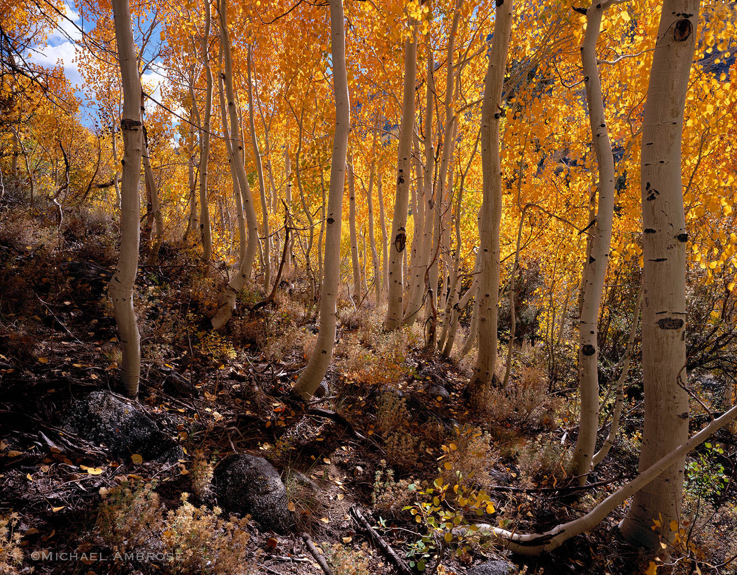 Aspen Trunks, golden with autumn foliage, thrive in the Eastern Sierra of California.