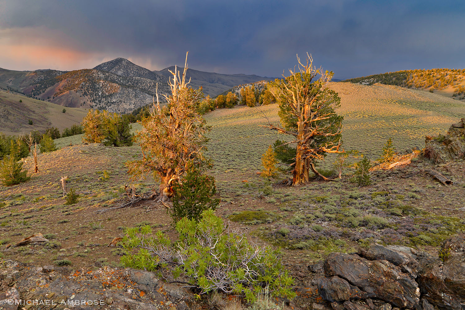 Ancient Bristlecone trees in sunset light on the White Mountains in the Eastern Sierra of California.