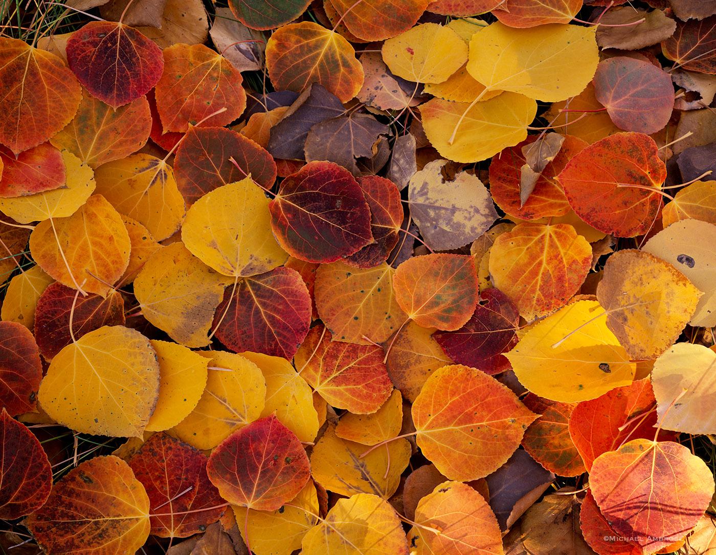 Fallen Aspen leaves in bright autumn colors adorn the forest floor in the Mono Basin near Mono Lake, California.