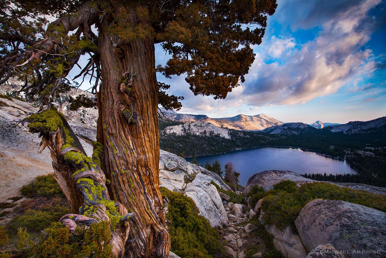 Tenaya Lake and Juniper tree guard the high country of Yosemite National Park at sunset.