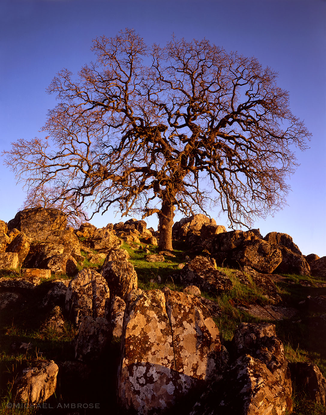 Brilliant golden light warms a wintertime oak tree and lichen coated rock in the Sierra Nevada foothills of California.